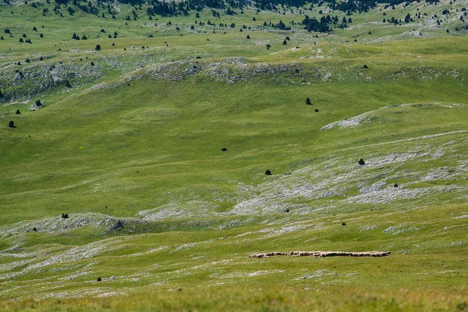 Troupeau de moutons en estive sur les Hauts Plateaux du Vercors