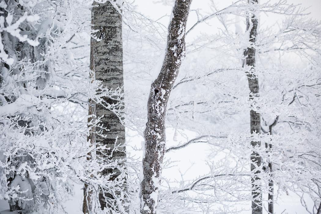 Arbres recouvert de givre l'hiver. Parc Regional Naturel du Vercors.