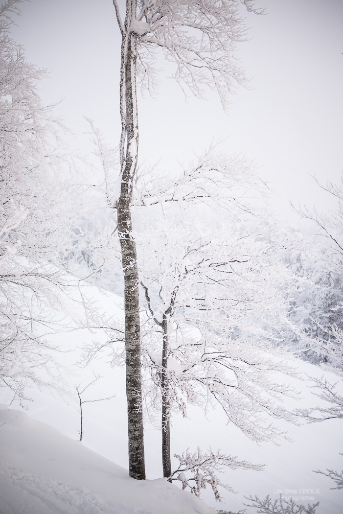 Arbres givres sous la brume. Parc Regional Naturel du Vercors.