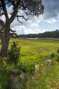 Pin à crochets au bord du lac d'Aude